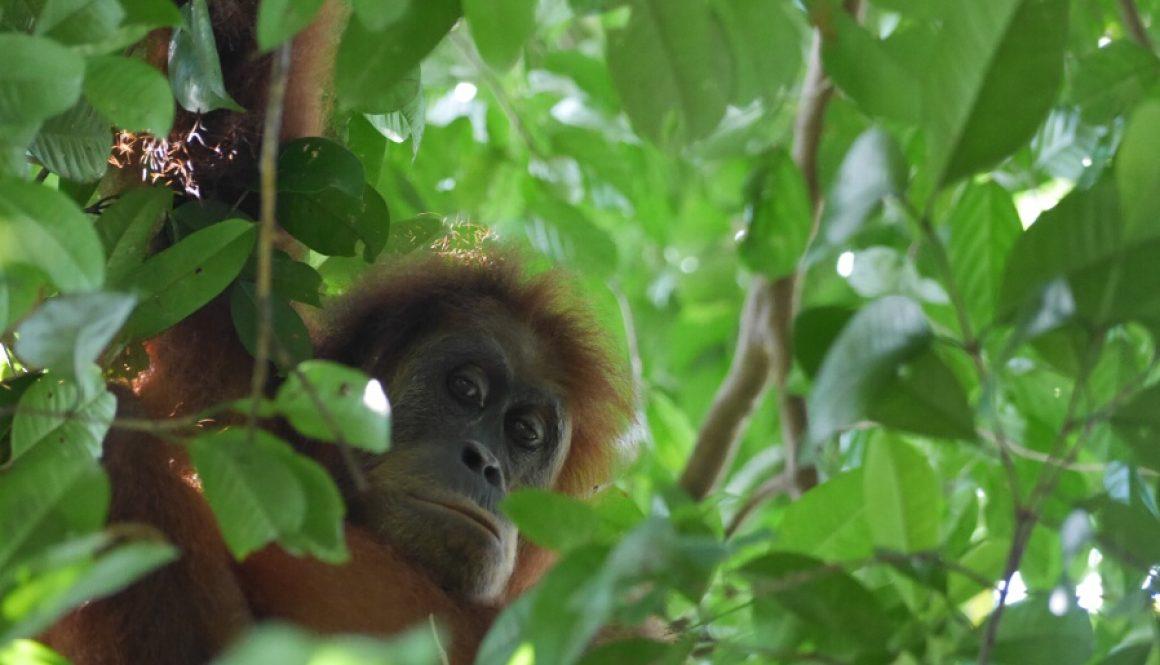 Bukit Lawang – die letzten Orang-Utans